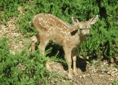 Baby Fawn-2